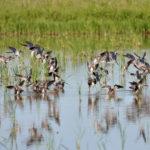 waterfowl, chambers county, texas