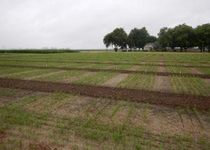 msu rice field trials