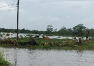 stranded cows, louisiana flooding