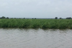 flooded sugarcane, hurricane barry