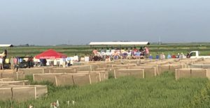 2018 U ark rice field day