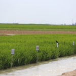 rice plots, arkansas