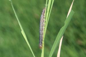 california armyworms