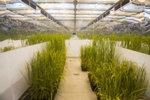 rice growth chambers