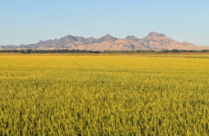 sutter buttes, rice