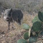 wild pig, texas