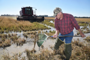 Study looks at second-crop rice, crawfish production