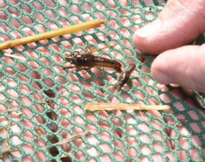 young crawfish