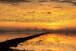 california rice habitat