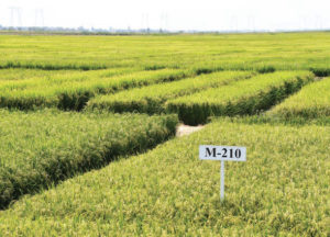 M-210 medium grain