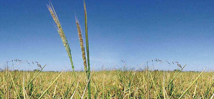 weedy rice