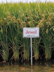 jewel rice variety
