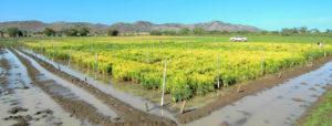lajas, puerto rico, rice nursery