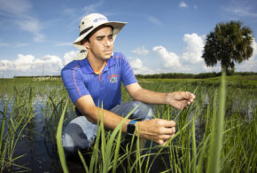 UF/IFAS entomologists give reason to celebrate rice in Florida