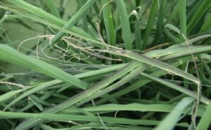hail damage to rice
