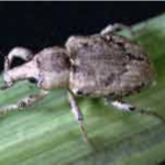 rice water weevil adult