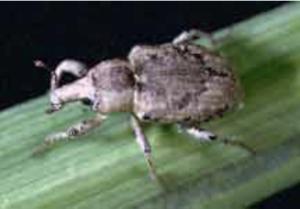 rice water weevil adult