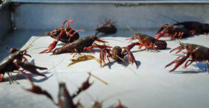 crawfish production
