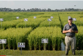 LSU AgCenter rice research showcased at virtual field day
