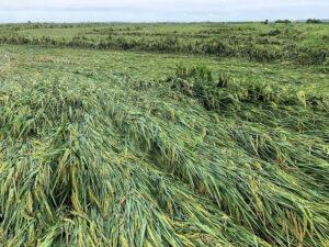 flattened rice 2020