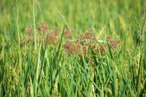 nutsedge in Arkansas rice