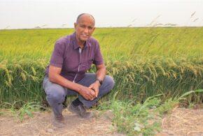 California farmers look to plant more rice in the Sacramento Delta