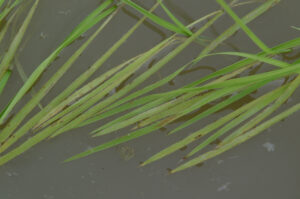 zinc deficiency in water-seeded rice