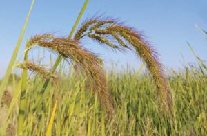 new watergrass biotype
