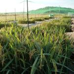 university of delaware rice