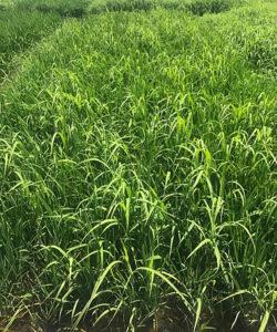 barnyard grass in row rice