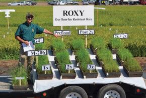 ROXY rice rocks in trials