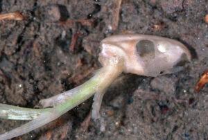 seed midge