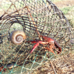 snail in crawfish trap