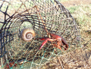 snail in crawfish trap