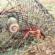 Invasive apple snails threaten Louisiana rice, crawfish production